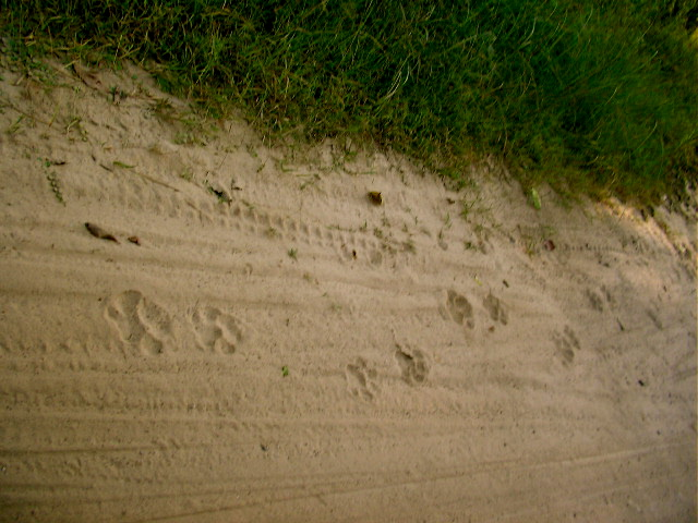Tiger pug marks, Jim Corbett, National Park, jeep safari