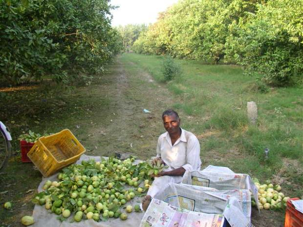 Guavas, Punjab, fruit farm, countryside, offbeat travel