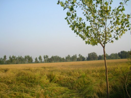 Basmati Rice, Punjab, fruit farm, countryside, offbeat travel