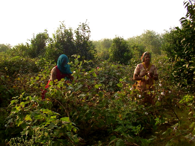 punjab, countryside, offbeat travel, weekend getaways, fruit farm, cotton fields