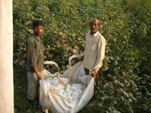 Cotton field, Punjab, fruit farm, countryside, offbeat travel