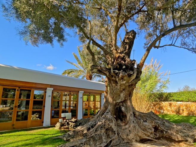 Olive tree pictures, Ibiza images