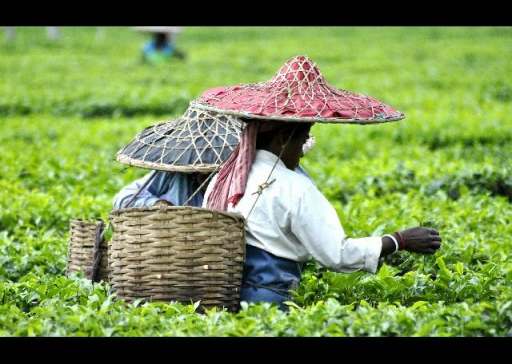 Assam photos, Assam photo, Assam tea