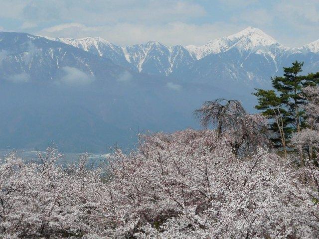 Japan photo gallery, cherry blossom Japan, cherry blossom tree Japan