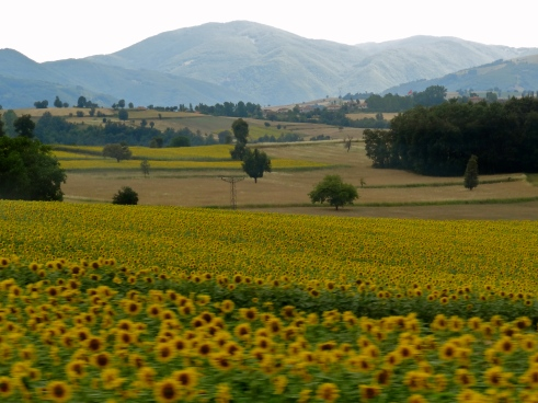 sunflowers turkey, black sea coast turkey