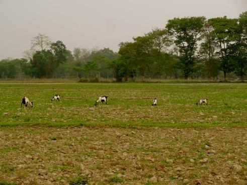 Majuli island, Majuli Island Assam, Majuli island photos