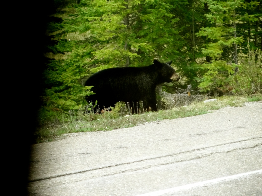 Black bear photos, pictures of black bears, Jasper wildlife