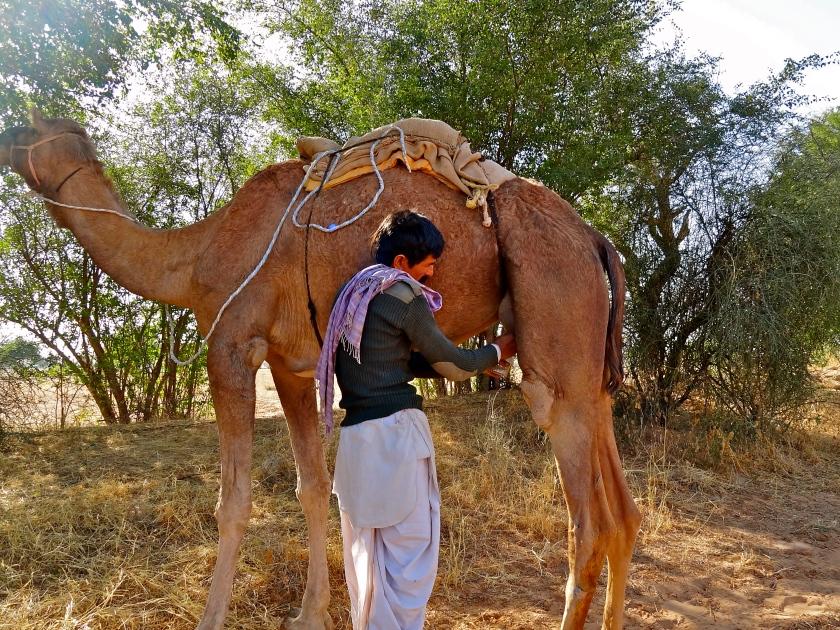 Rajasthan camel, Rajasthan village, Bhap village, Rajasthan desert, Thar desert India