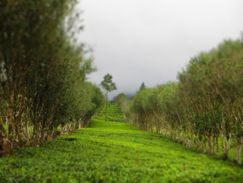 Kandy tea plantations, Sri Lanka tea estates, Eco Sri Lanka, Madulkelle