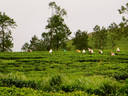 Sri Lanka tea estates, Sri Lanka ecotourism, Sri Lanka hill country, Madulkelle