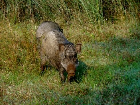 wild boar, panna tiger reserve