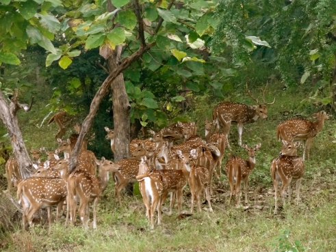 deer herd, panna forest, panna national park