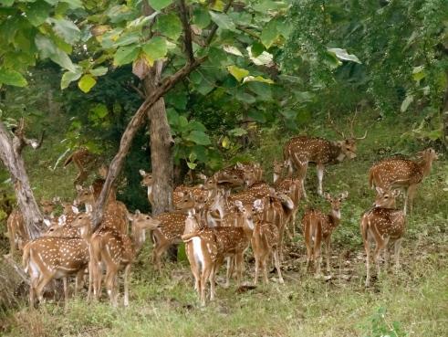 deer herd, panna forest, panna national park