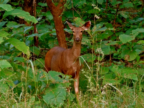 female sambar deer, madhya pradesh forest, panna tiger reserve