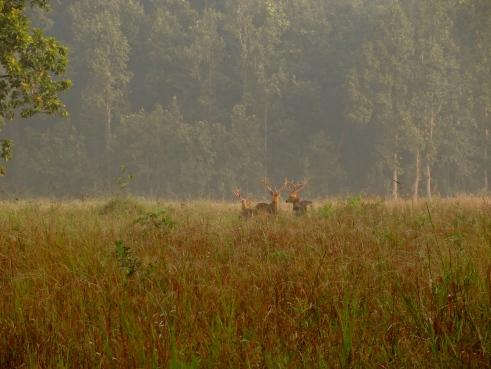 barasinghas, Kanha wildlife, Kanha national park, Kanha madhya pradesh