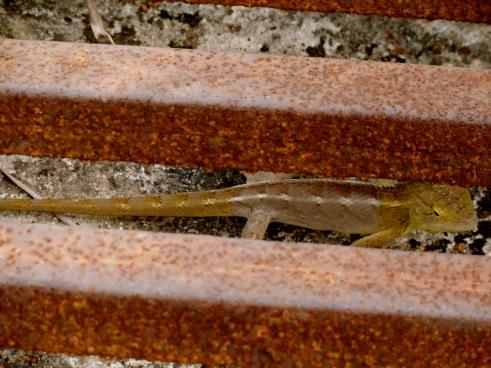reptiles, tadoba andhari tiger reserve, tadoba national park, tadoba pictures