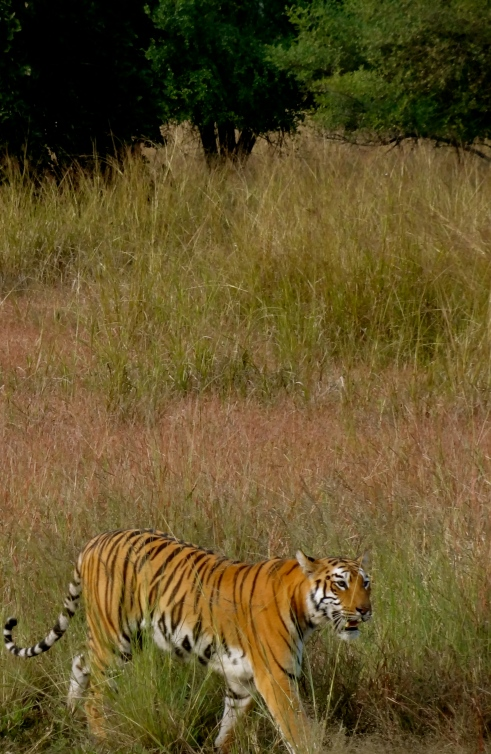 tigers tadoba, royal bengal tiger, tadoba andhari tiger reserve