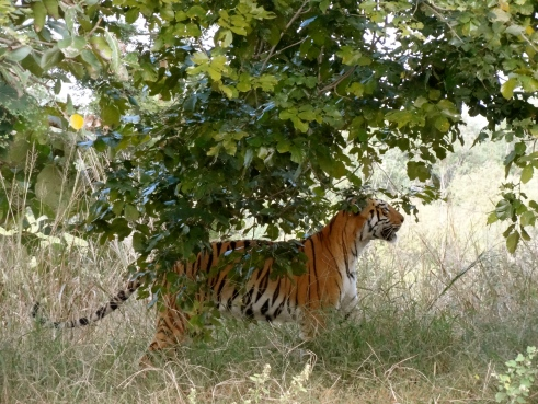 tadoba maharashtra, royal bengal tiger india, tadoba andhari tiger reserve