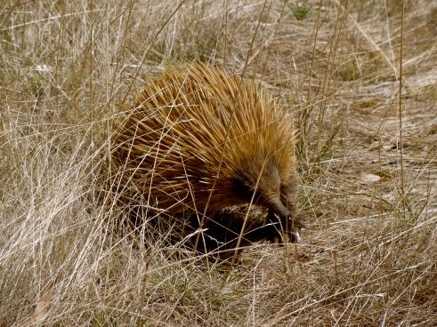 echinda australia, kangaroo island, australian wildlife