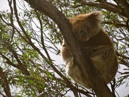 Australia koalas, Australian wildlife, kangaroo island koalas