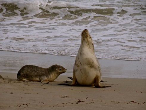 Australia sea lions, Australian wildlife, Australian seals