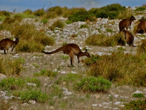 South Australia wildlife, Australia kangaroos, Kangaroo Island