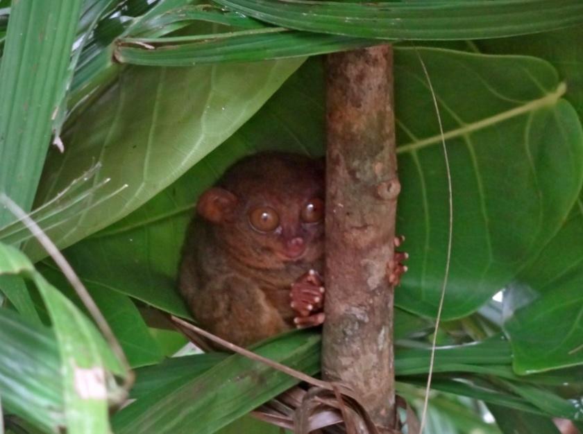 tarsier bohol, tarsier loboc
