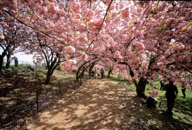 Nyc cherry blossoms, best free things nyc, nyc parks