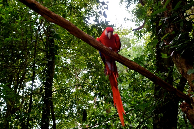 Scarlet macaw honduras, Honduras birds, Honduras wildlife