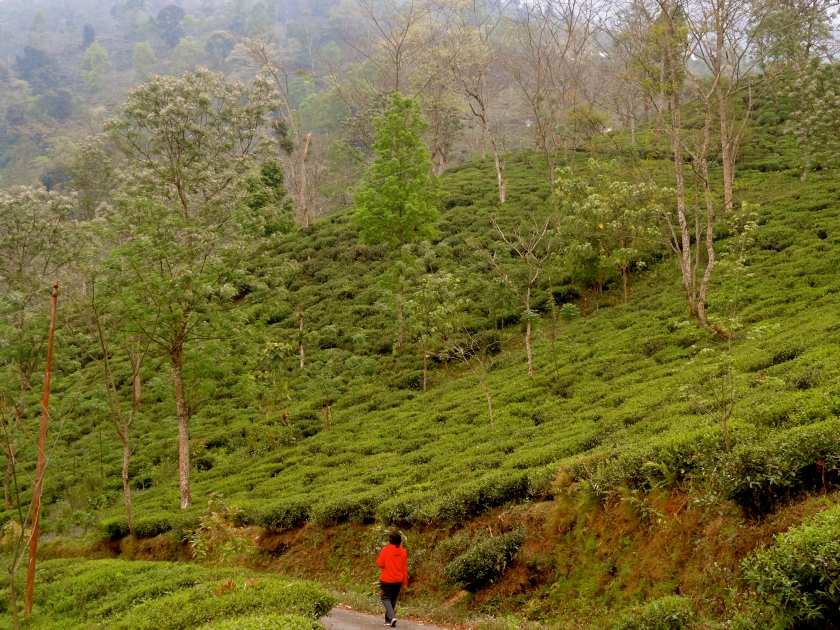 Darjeeling to Sikkim hike, Darjeeling tea estates, Tathagata farm