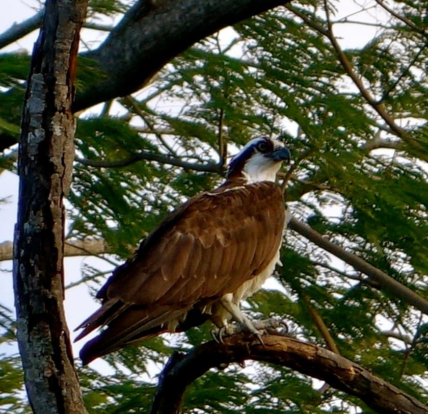 ometepe wildlife, white bellied sea eagle