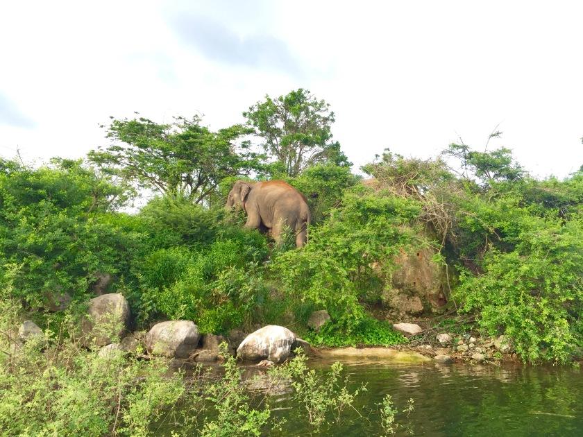 gal oya national park, swimming elephants, elephants sri lanka