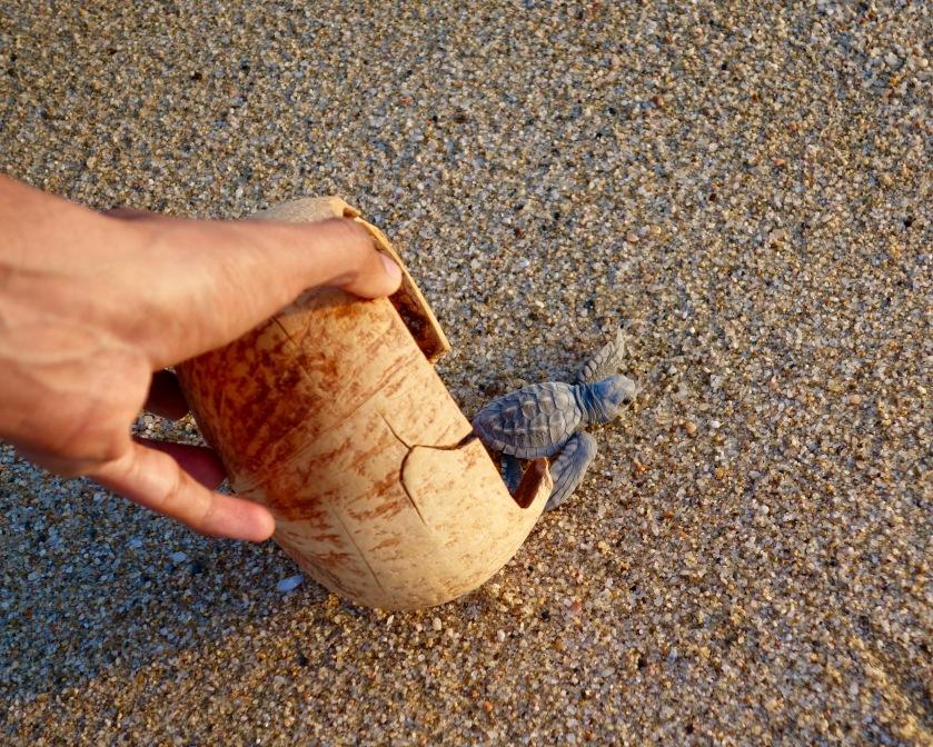 baja california sur, turtle release mexico, turtle release todos santos