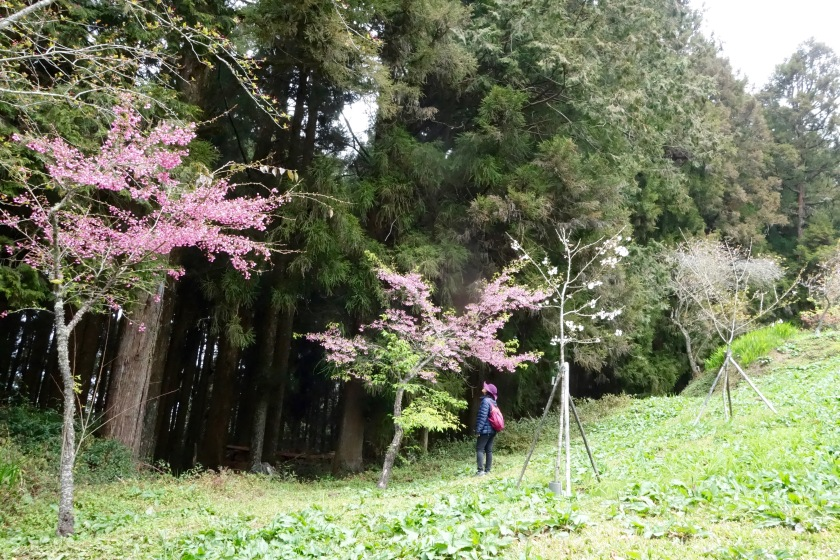 cherry blossom taiwan, alishan taiwan, taiwan points of interest