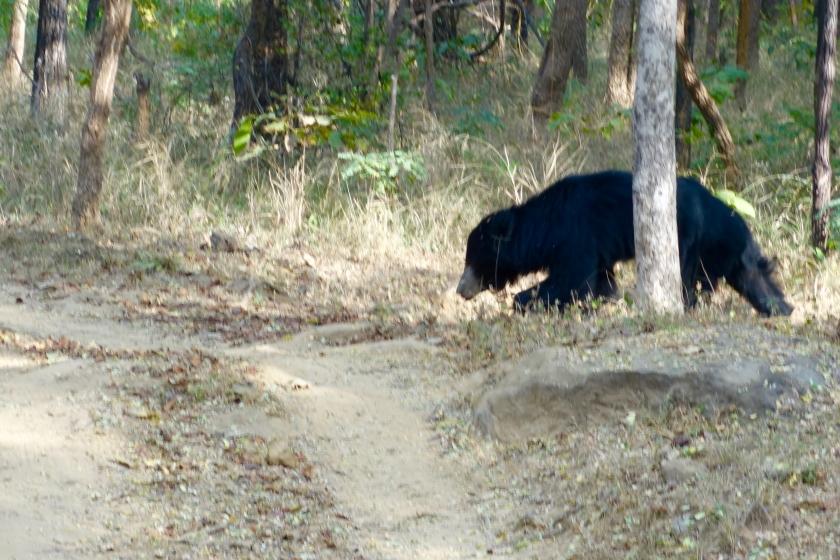 sloth bear sighting, satpura national park, satpura jeep safari